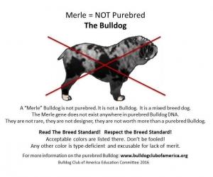 No Merle Standard Bulldogs